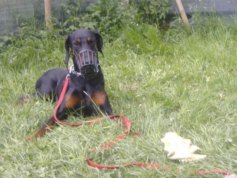 Falco-Dobermann