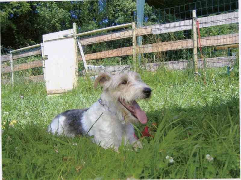 Scotty-Fox Terrier