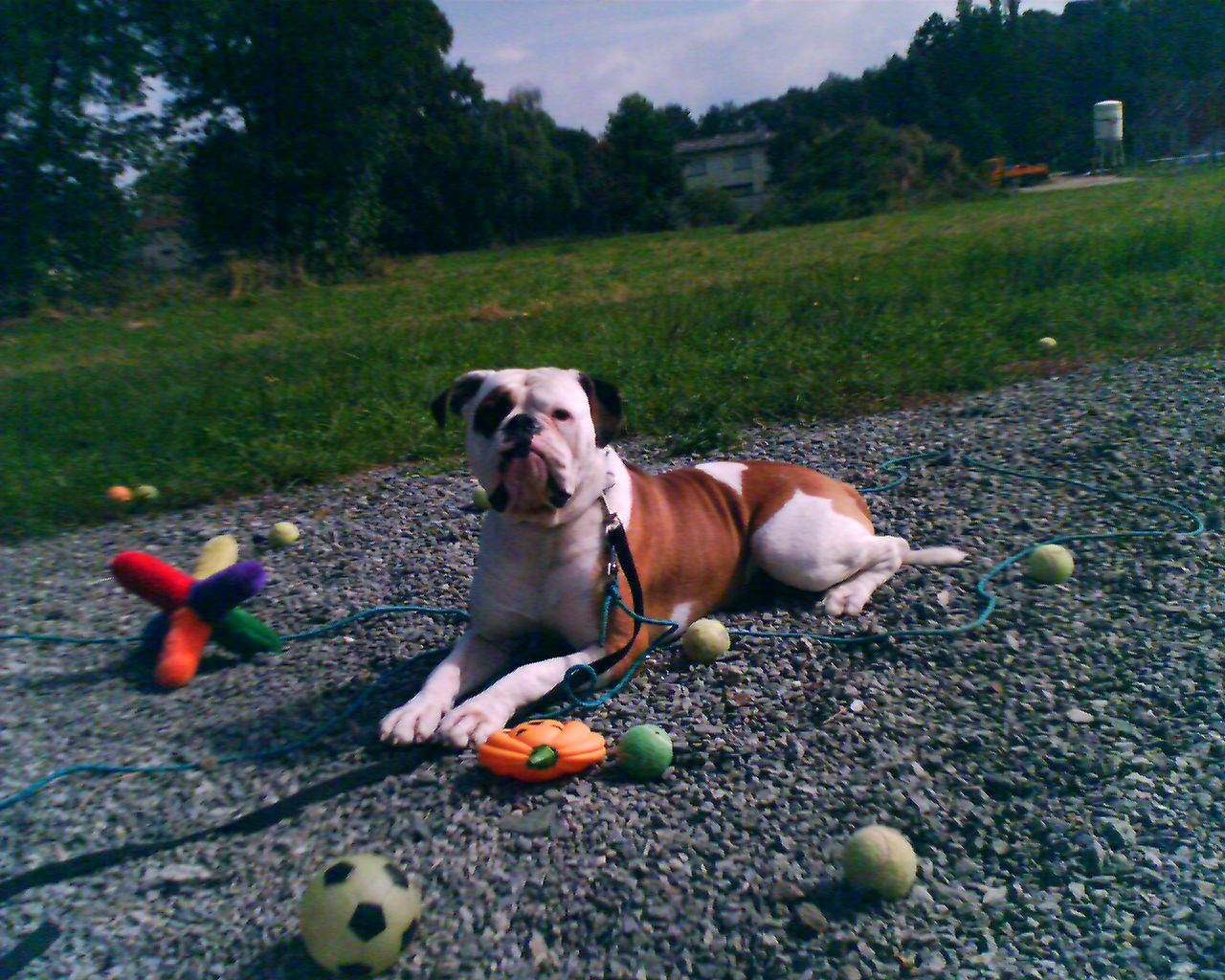 Wilson-Old English Bulldog